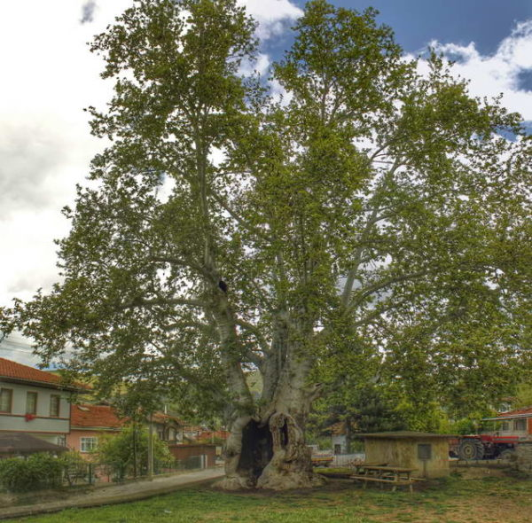Taraklı_Historic Plane Tree